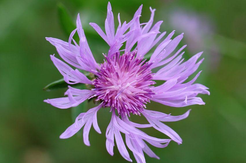 Kornblumen. Kornblumen sah ich heut, Träume aus der Kinderzeit, ich pflücke ein paar Blüten mir, flechte einen Kranz und schenk ihn dir. Erinnerungen flecht' ich ein, wie wunderbar, ein Kind zu sein! Ein Kind auf einer Blumenwiese, Zöpfe fliegen, nackte Füße Spüren Blumen und Gras, das ist Sommer und macht Spaß! Duftende Blüten weit und breit, oh du schöne Sommerblumenwiesenzeit! (Eveline Dächer) Bachelor's Button Beautiful Nature Beauty In Nature EyeEm Best Shots EyeEm Best Shots - Nature EyeEm Flower EyeEm Flowers Collection EyeEm Nature Lover Flowerporn Flowers_collection For My Friends That Connect Hello World ✌ Ladyphotographerofthemonth Mother Nature Is Amazing Mother Natures Beauty... Nature Photography Natures Diversities Purple Flower The Essence Of Summer The Purist (no Edit, No Filter) Wald- Und Wiesenblumen