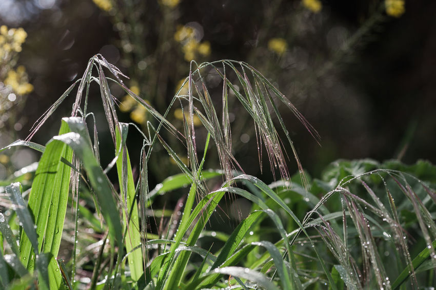 Freshness Green Green Green Green!  Green Color Growth Nature Nature Photography Plant Poaceae Rain Spring Has Arrived Alentejo Bromus Bromus Tectorum Fresh Nature_collection Naturelovers Spring Springtime