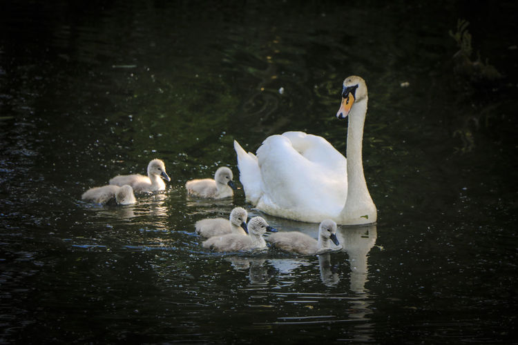 Swan With Cygnets Swimming On Lake