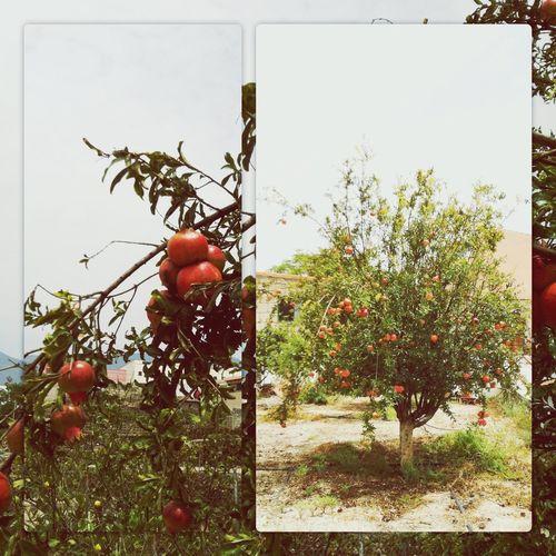 Tree Fruit Fruits Frutas