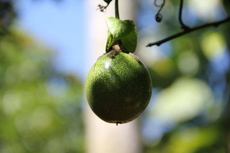 Close up image of a green fruit dangling