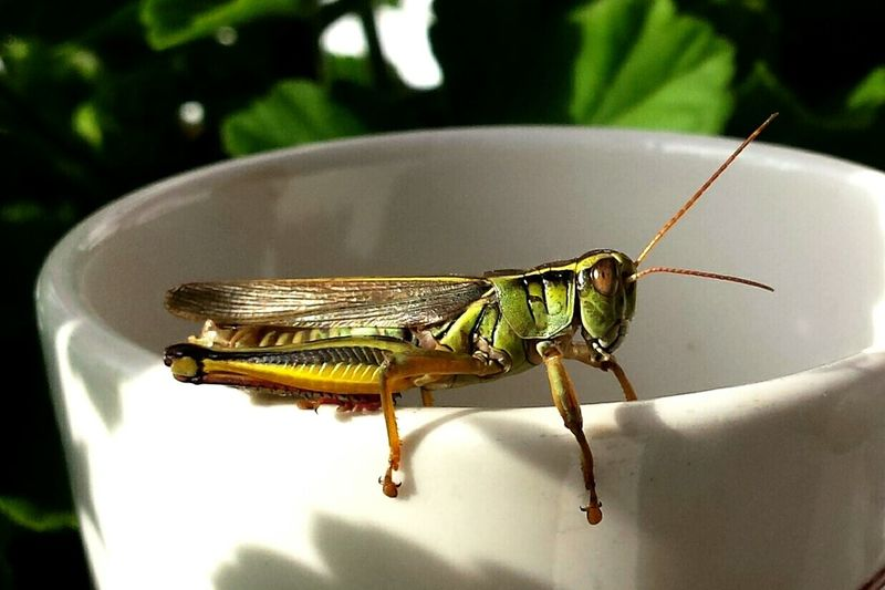 Found this little Grasshopper looking for a sip of coffee :) Nature On Your Doorstep EyeEm Nature Lover Abugslife