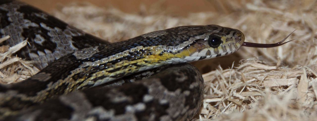 Close-up of corn snake on hay
