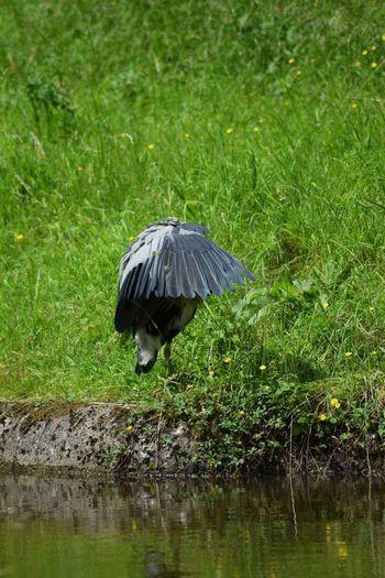 Camera shy heron Heron Heron Preening Heron On The Canal