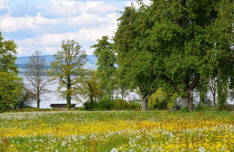 Tree Yellow Growth Nature Field Beauty In Nature No People Flower Tranquility Tranquil Scene Sky Day Cloud - Sky Outdoors Green Color Scenics Landscape Rural Scene Architecture Freshness Bodenseebilder Bodensee Frühling Löwenzahnwiese