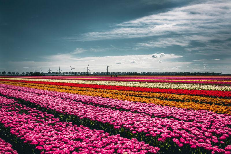 Pink flowers on field against sky