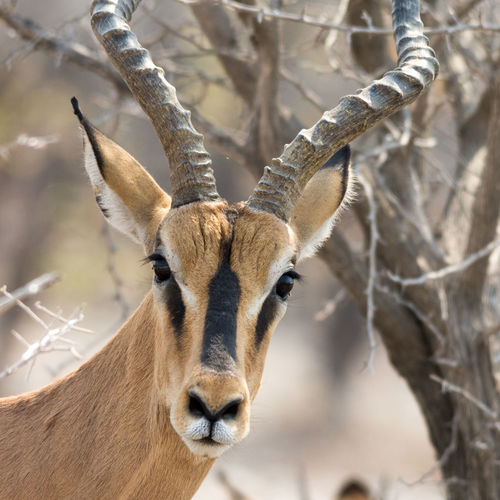 Portrait of black-faced impala with horns