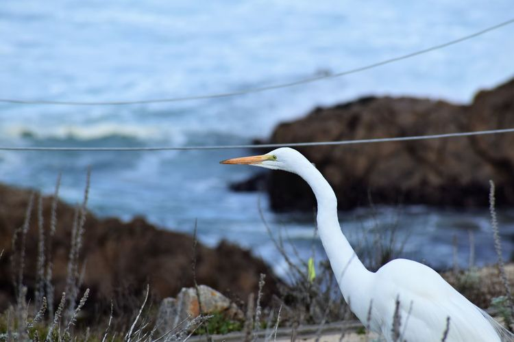 Close-Up Of Great Egret Perching Against Sea