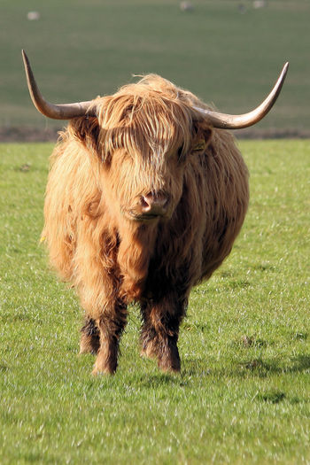 MOOO Animal Animal Themes Bovine Cattle Cow Cows Domestic Cattle Field Four Legs Fur Furry Gore Grassy Grazing Hair Herbivorous Horns Livestock Moo Scotland Scottish Scottish Cattle Scottish Longhorn Stare Staring