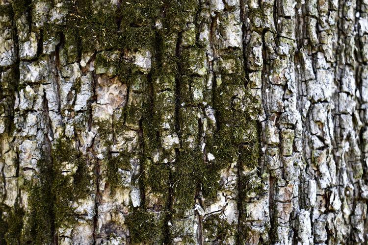 Moss Birch Tree