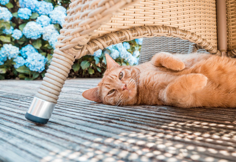 Ginger kit in the sunshine Orange Basket Blue Flowers Canine Cat Domestic Domestic Animals Domestic Cat Eyes Feline Flower Ginger Kitten Lying Down Mammal Napping No People One Animal Outside Pets Pretty Relaxation Resting Seat Sleeping