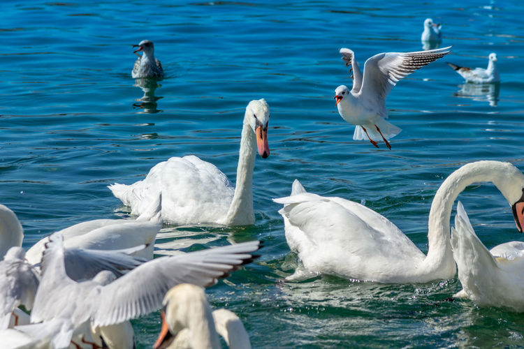 Bird Water Animal Themes Group Of Animals Animal Animals In The Wild Animal Wildlife Vertebrate Swan Swimming Lake Nature Beauty In Nature Day No People White Color Large Group Of Animals Water Bird Seagull Outdoors Flock Of Birds Floating On Water