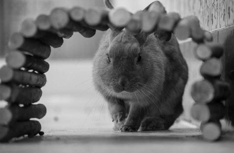 Close-up portrait of rabbit on floorboard