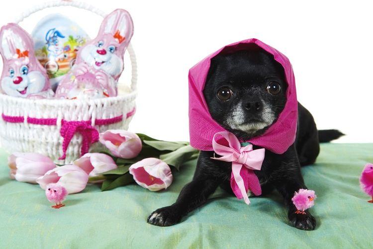 Easter-Dog