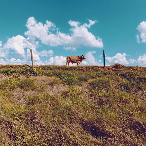 Low angle view of cow standing on grassy hill against blue sky