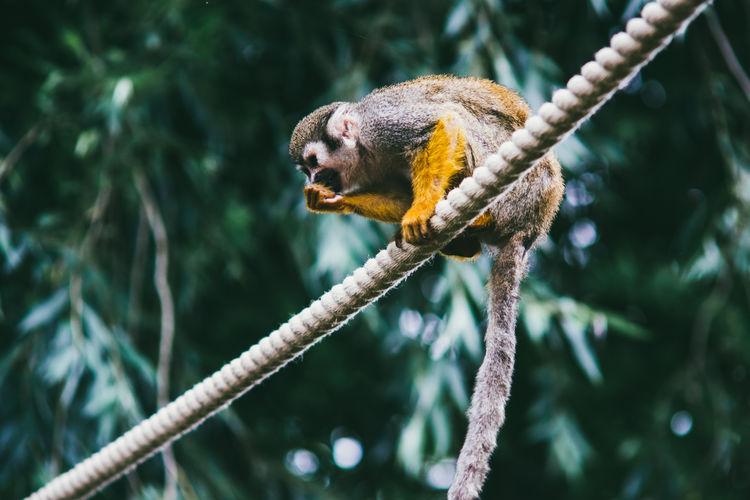 Monkey Nature One Animal Primate Rope Squirrel Monkey Trees Wildlife Zoology