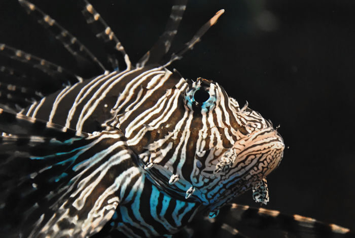 Red lionfish close-up Aquarium Photography Close-up Coral Reef Dangerous Exotic Fish Fish Lionfish Lionfish (Pterois Volitans) Pterois Volitans Red Lionfish Sea Aquarium Fish