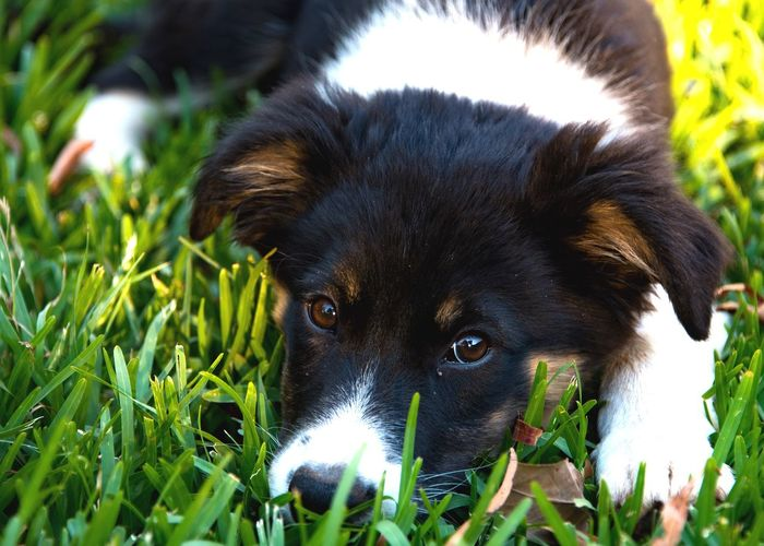 Bella Lupa Border Collie Pets One Animal Dog Domestic Animals Looking At Camera Animal Themes Grass Lying Down Puppy Outdoors Portrait