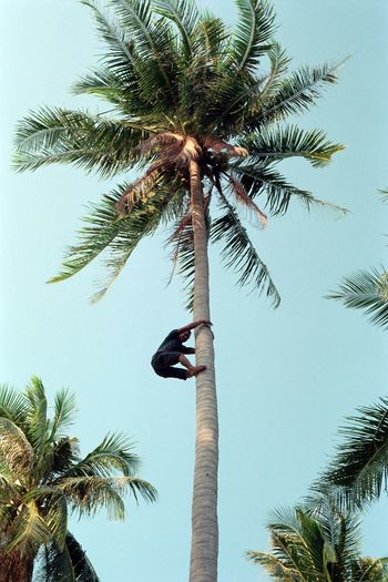 Harvest Man Palm Tree Coconut Palm Tree Islandlife 35mm Film Film Photography Filmisnotdead Analogue Photography