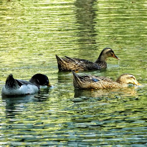 Water Lake Animal Themes Animals In The Wild Bird Nature Swimming Waterfront Animal Wildlife No People Outdoors Day Beauty In Nature