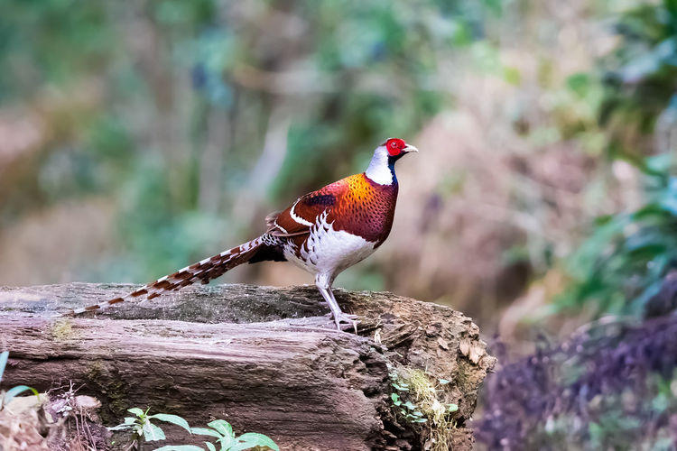白颈长尾雉:大型雉类,中国国家一类重点保护动物 Bird Perching Tree Multi Colored Branch Bird Of Prey Red Cockerel Feather  Full Length