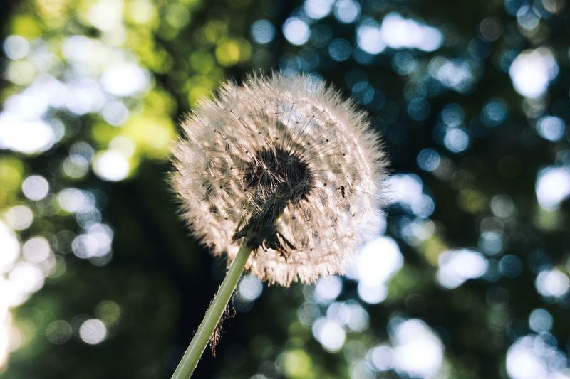 Plant Flower Freshness Flowering Plant Fragility Beauty In Nature Vulnerability  No People Focus On Foreground Growth Plant Stem Uncultivated Inflorescence Close-up Outdoors Softness Dandelion Dandelion Seed Nature Flower Head