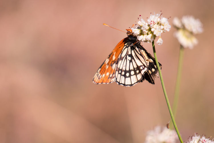 Animal Animal Themes Animal Wildlife Animals In The Wild Beauty In Nature Butterflies Butterfly Butterfly - Insect Close-up Flower Flower Head Flowering Plant Focus On Foreground Fragility Freshness Insect Invertebrate Nature No People Plant Pollination Vulnerability