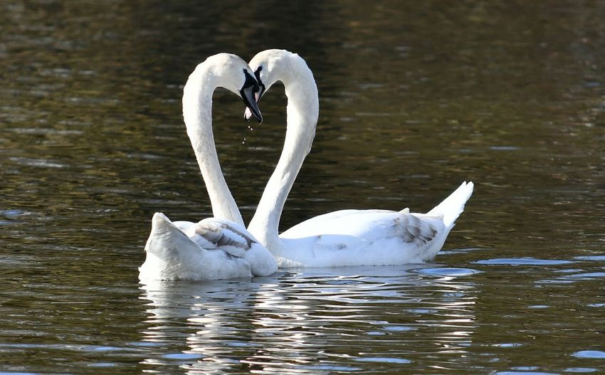 Love is, what you make of it! Love Loveheart Bird Swan Water Swimming Flamingo Lake Animal Themes This Is Aging