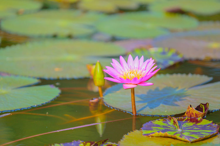 Pink or purple lotus flower. Flower Flowering Plant Water Lily Water Plant Beauty In Nature Leaf Plant Part Lake Vulnerability  Freshness Fragility Floating Floating On Water Petal Growth Nature Close-up Lotus Water Lily Pink Color Flower Head No People Outdoors Pollen Leaves