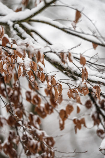 Close-up of dry leaves on tree during winter