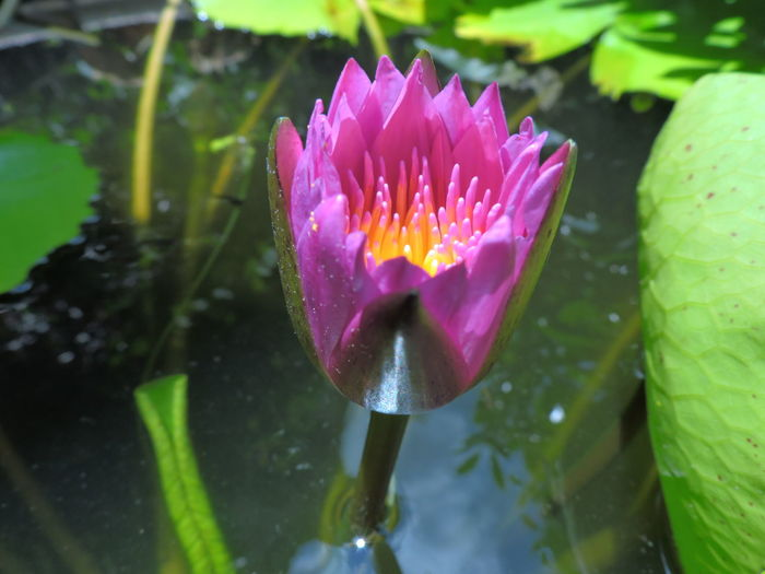 Beauty In Nature Blooming Close-up Day Floating On Water Flower Flower Head Fragility Freshness Growth Lake Leaf Lily Pad Loei,thailand Lotus Water Lily Nature No People Outdoors Petal Pink Color Plant Purple Water Water Lily Wet First Eyeem Photo