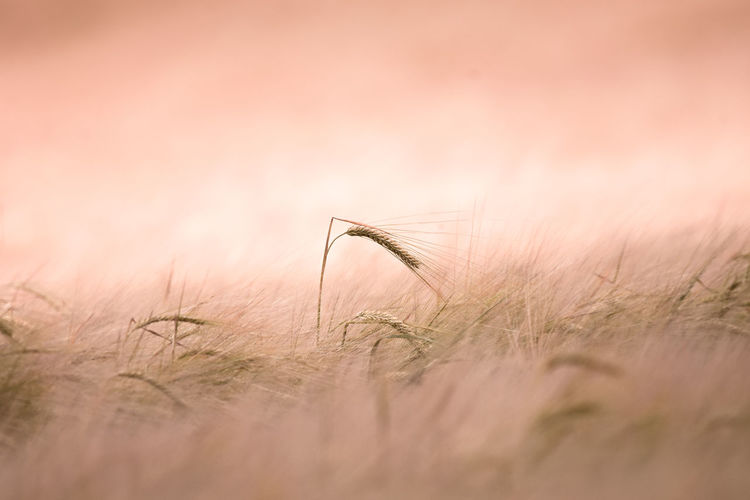 EyeEm Best Shots EyeEm Nature Lover EyeEm Selects Rural Agriculture Animal Barley Beauty In Nature Cereal Plant Close-up Crop  Day Field Grass Growth Land Landscape Nature No People Outdoors Plant Rural Scene Selective Focus Sky Tranquility