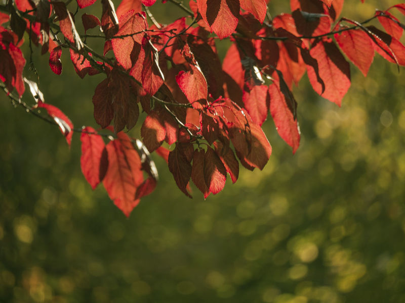 #Bokeh #color #colorful #EyeEm Best Shots #EyeEm Nature Lover #fall #leaves #nature Collection #sunshine Autumn Beauty In Nature Change Leaf Nature No People Outdoors Red Tree