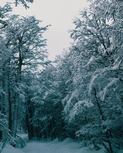 Snow covered pine trees in forest