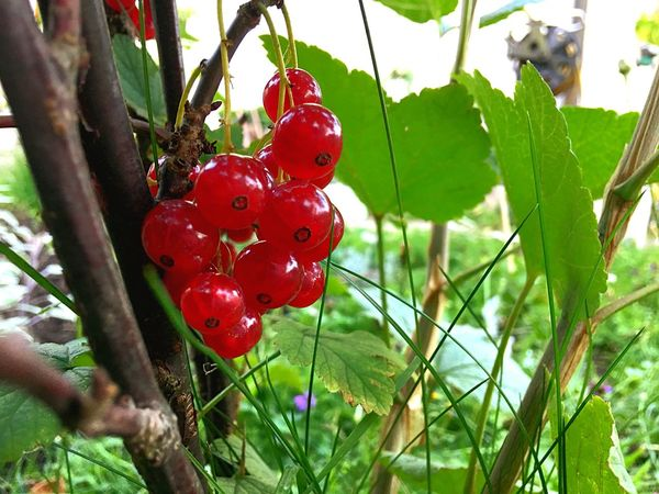 So Rot. So Süß. So Lecker. Red Growth Redberries Focus On Foreground Nature Day No People Fruit Plant Outdoors EyeEmNewHere Close-up Branch Food Beauty In Nature Freshness WAL Werbeagentur Lauf