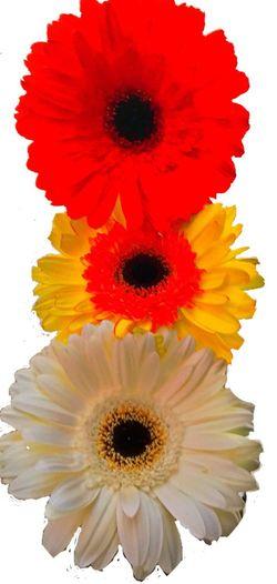IKEBANA Margarites Minimalism Flowers