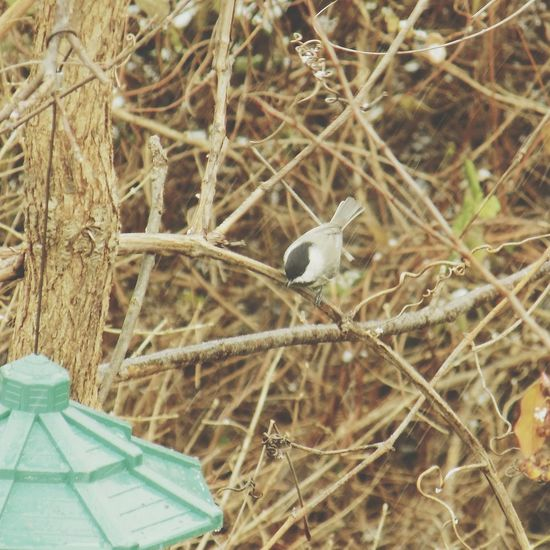 Chickadees eyeing up the bird seed Birdingphotography Bird Watching Birds Of EyeEm  Birds_collection Birding Birds🐦⛅ Birdwatching Bird Photography Bird Birds Animals Animal Animal Photography Animal Themes Backyard Birder