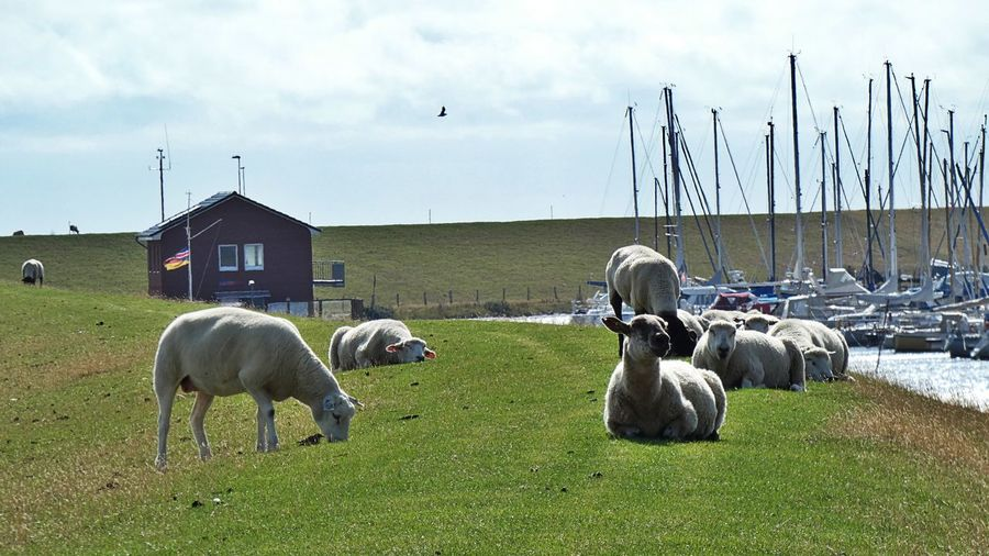Bird Pets Sheep