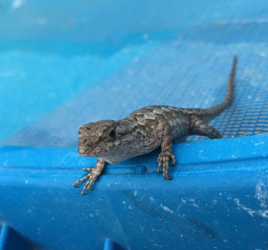 Lizard Lizard Watching Pet
