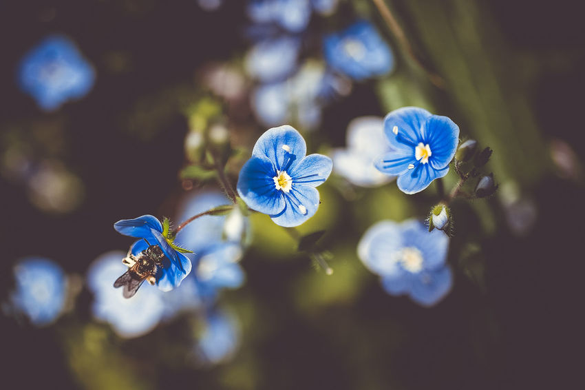 busy blue Beauty In Nature Blue Close-up Day Flower Flower Head Flowering Plant Focus On Foreground Fragility Freshness Growth Inflorescence Nature No People Outdoors Petal Plant Purple Selective Focus Vulnerability