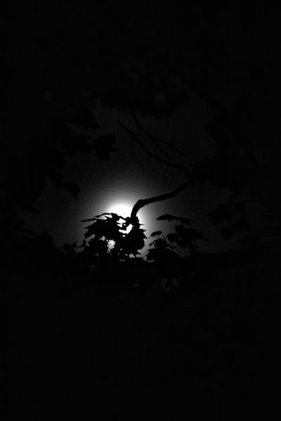 Night Silhouette Nature Outdoors Sky Moonlight Moon Leaves And Branches Leaves Silhouette
