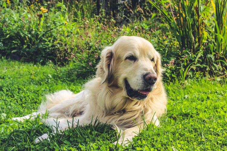 Animal Themes Close-up Day Dog Domestic Animals Golden Retriever Grass Green Color Mammal Nature No People One Animal Outdoors Pets Relaxation Retriever Sitting