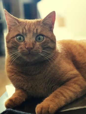 Domestic Cat Pets Domestic Animals One Animal Feline Mammal Animal Themes Portrait Indoors  Looking At Camera No People