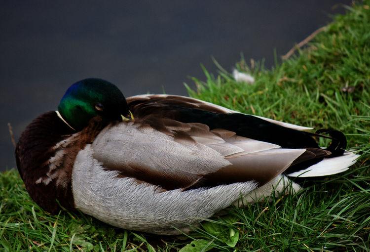 Close-up of mallard duck on field