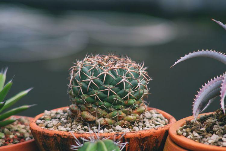 Cactus coryphantha