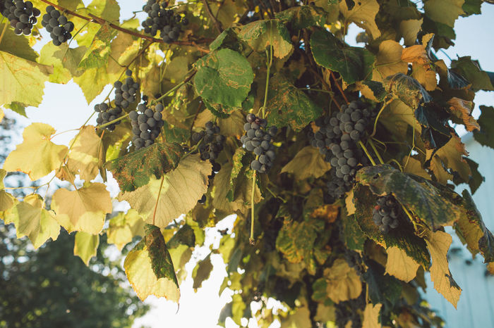 Vine Vineyard Plant Harvest Harvesting Harvest Time Autumn Leaf Plant Part Growth Tree Nature Day Beauty In Nature Green Color Low Angle View No People Branch Healthy Eating Fruit Food And Drink Close-up Outdoors Food Yellow Sunlight Leaves Change Winemaking