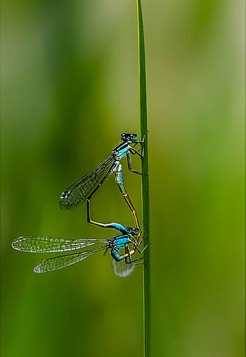 Mating season for Damselflies Animal Animal Behavior Animal Themes Animal Wildlife Animals In The Wild Beauty In Nature Close-up Damselfly Day Insect Mating Pair Of Insects Nature No People One Animal Outdoors Winged