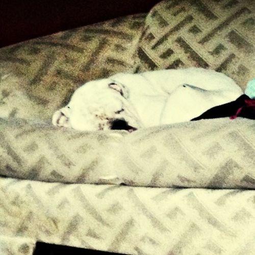 My moms dog Sleeping Bulldog