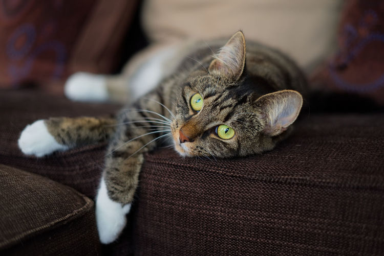 Close-up portrait of cat lying on sofa