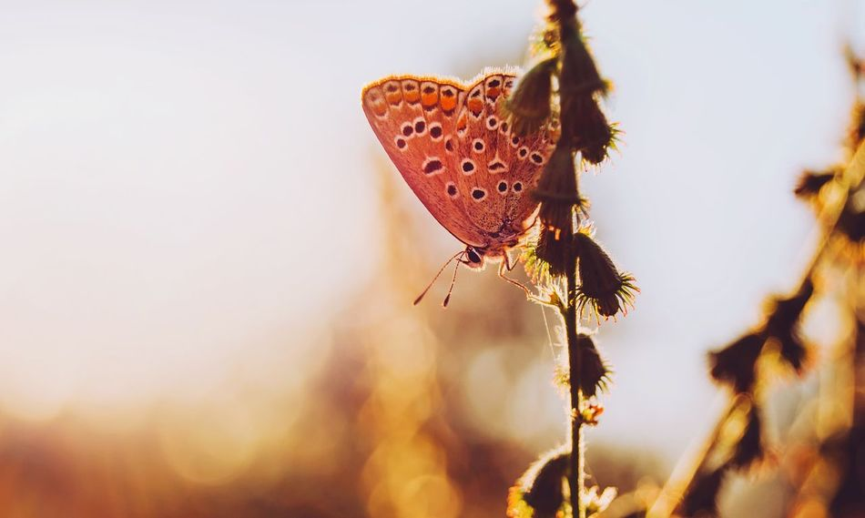 Butterfly Insect Wild Life Nature Belarus Nature Beauty In Nature Summer Composition Macro Nature Meadow Life Warm Colors Sunset Mood Nature Life Sunset EyeEm Selects Our Best Pics Summer Nature Colors Of Summer Evening Colors From My Point Of View By Ivan Maximov Magic Of Nature Exceptional Photographs Eyeem Photo Beauty View Butterfly Macro